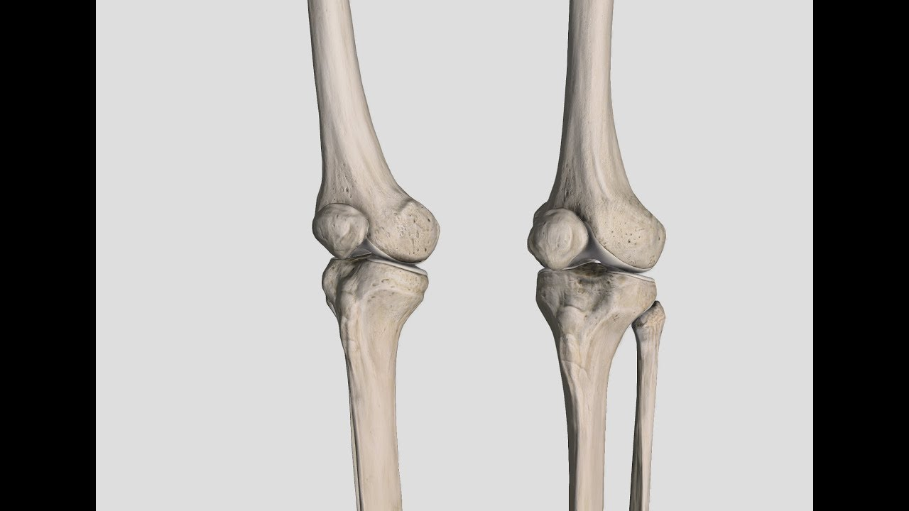 Appendicular Skeleton: Femur, Patella, Tibia, Fibula - YouTube