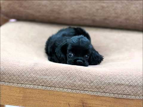 Micro Teacup Cocker Spaniel Puppies For Sale Youtube