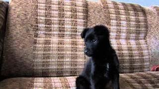 Милый черный щенок даром
