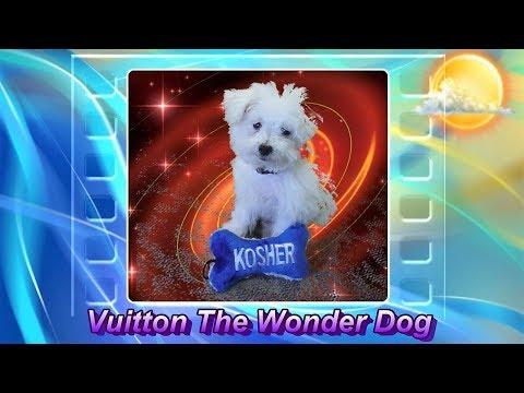 Talking cartoon Maltese cute poodle dog Vuitton the Wonder Dog eats McDonalds breakfast AE61