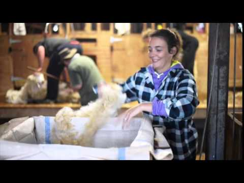 Sheep Shearing - Pakoka River Station - New Zealand - Oct. 2014
