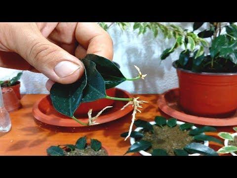 How to grow Ficus Benjamina from single leaf