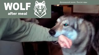 HOME WOLF after meal || Домашний волк - после еды