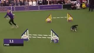 The World's Fastest Border Collie Dog
