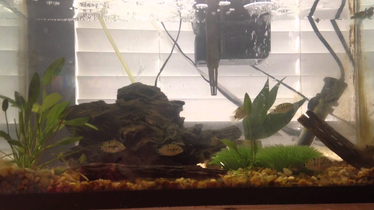 Planted Aquarium With Convict Cichlids And Cory Catfish You