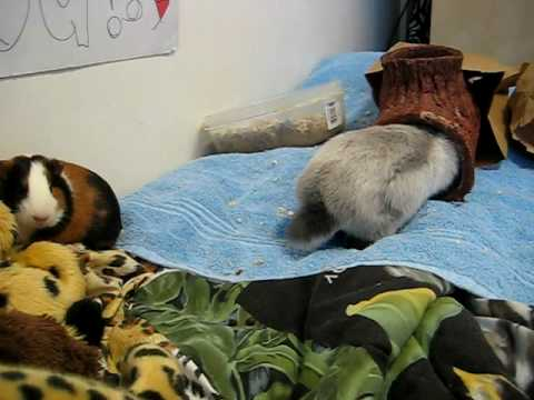Rabbits vs. Guinea Pigs as pets?