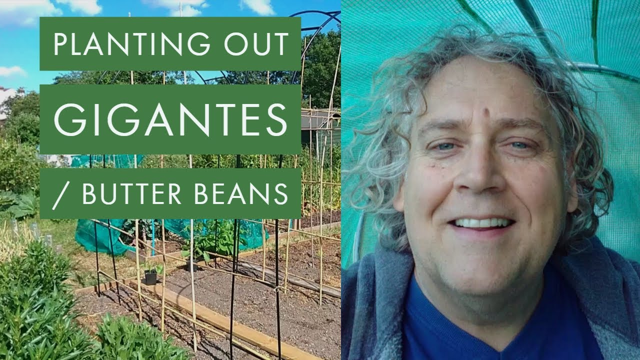 Planting out Gigantes / Butter Beans in our Gigantes & Cheeky Prince Frame,  June 2019