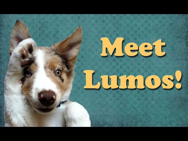 Introducing Lumos the Border Collie Puppy! dog training