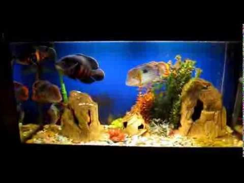 видео большой аквариум с американскими цихлидами