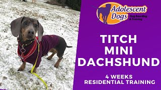 Titch the Miniature Dachshund - 4 Weeks Residential Training