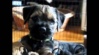 Border Terrier, Terriland, Maybe 11 Weeks