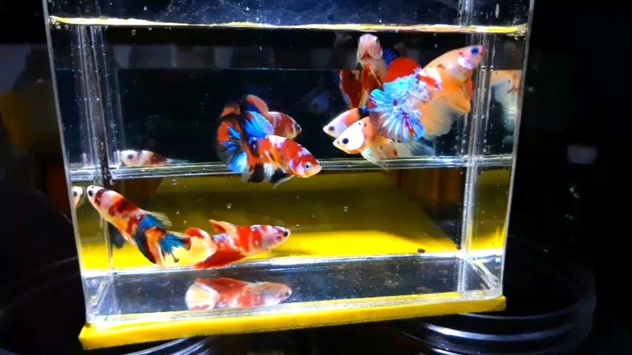 Dapat Borongan Ikan Cupang Plakat Koi Nemo Candy Yellow Base Gelombang 2 Youtube