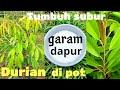 Gambar cover Inilah manfaat tersembunyi dari garam dapur untuk pupuk durian di pot agar tumbuh subur