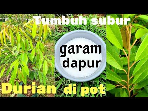 Inilah Manfaat Tersembunyi Dari Garam Dapur Untuk Pupuk Durian Di Pot Agar Tumbuh Subur Youtube
