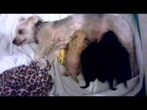 baby-poodle-x-yorki-dog-eat-with-mother