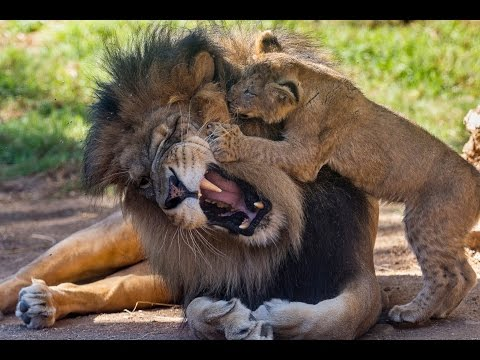 Thumbnail for Cat Video Lion Cubs Meet Dad for the First Time