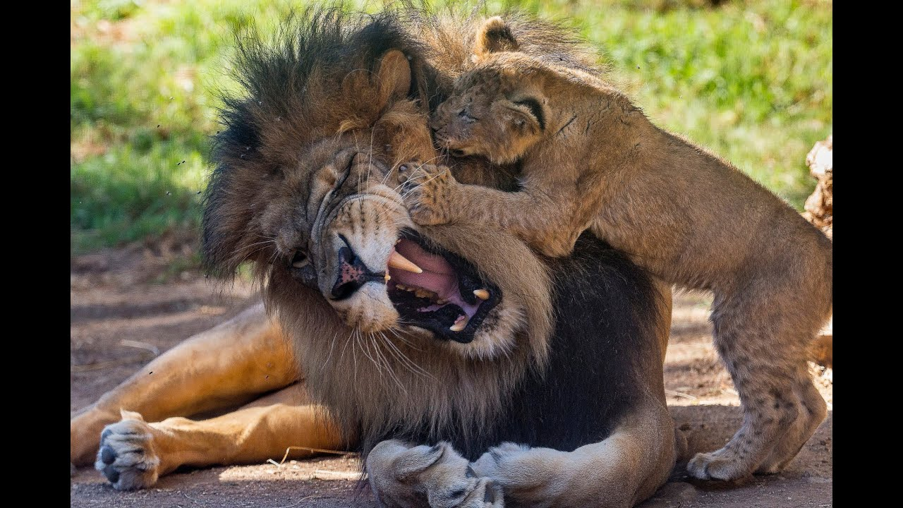 Adorable Little Baby Lion Cub With His Parents Baby It S Cold