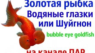 Аквариумные рыбки.Золотая рыбка – Водяные глазки.Шуйгнон (bubble eye goldfish)