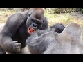 Gorilla Fight Club 2 UHD 4K FYV