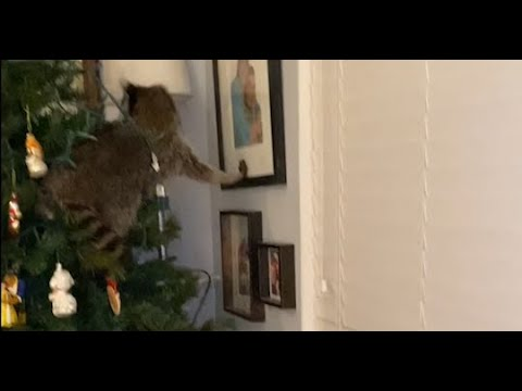 Chaos-Ensues-as-Woman-Wakes-Up-to-Find-Raccoon-in-Christmas-Tree