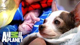 doctor-lucha-por-salvar-a-una-perrita-en-trabajo-de-parto-dr-jeff-veterinario-animal-planet