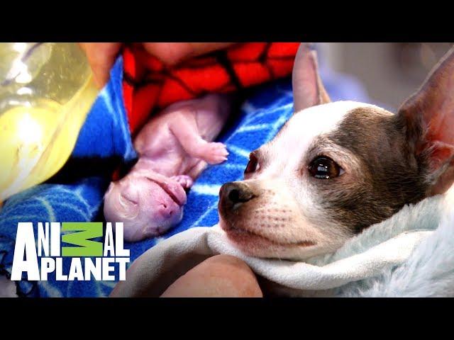 Doctor lucha por salvar a una perrita en trabajo de parto | Dr. Jeff, Veterinario | Animal Planet