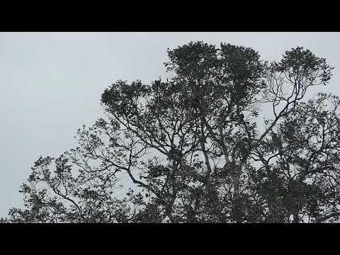 Pionites melanocephala caique tête noire