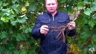 Когда  высаживать саженцы винограда. Осенью или весной? Виноград 2017.