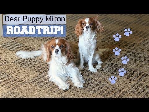 Dear Puppy Milton: Roadtrip! | Cavalier King Charles | Herky the Cavalier