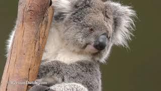 Koala in Australia 2019 - コアラ
