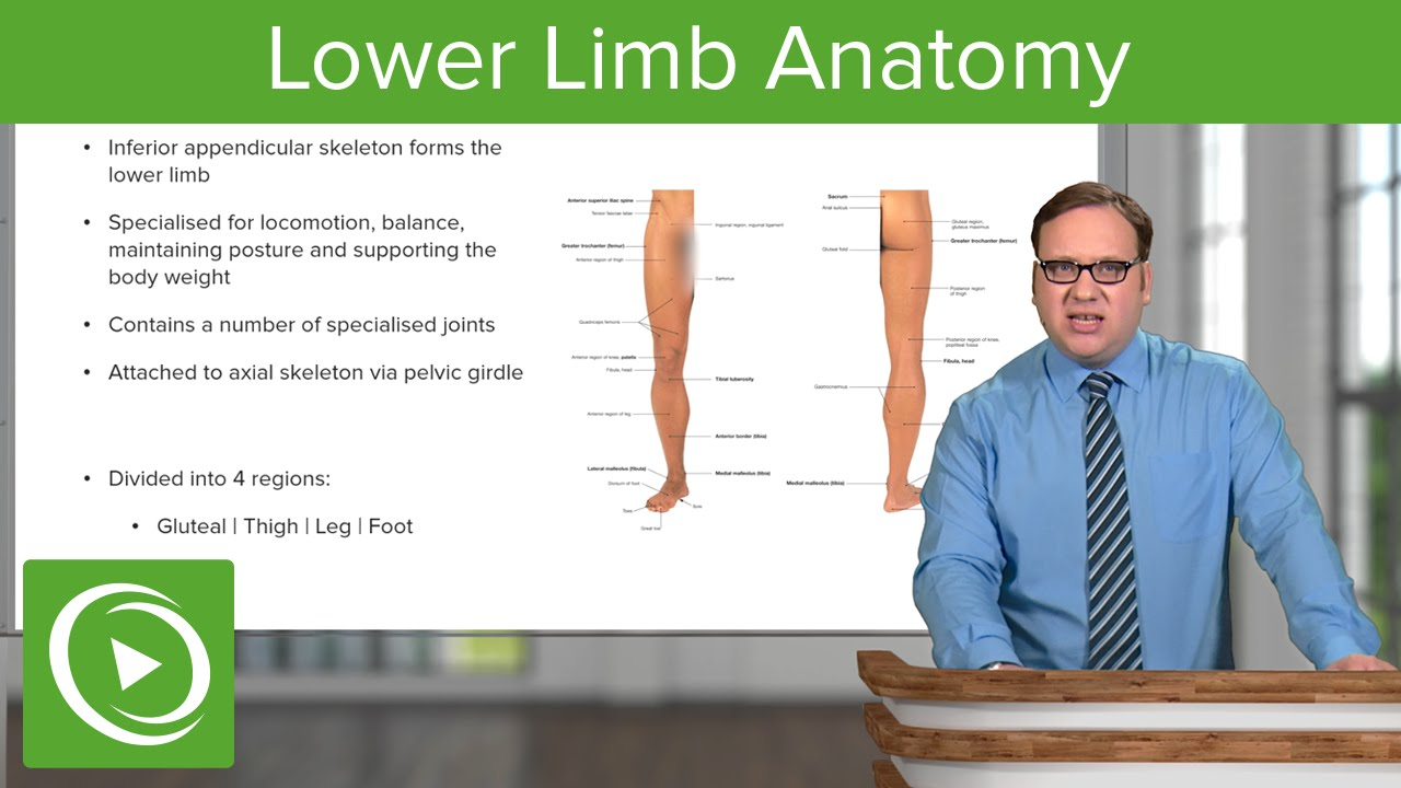 Lower Limb: General Arrangement & 4 Regions – Anatomy | Lecturio