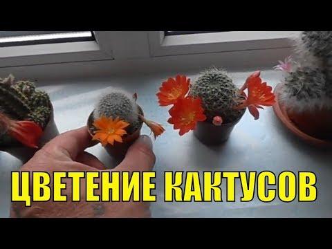 Кактусы в домашних условиях. Цветение.