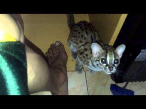 Forum Kucing Hutan How To Menjinakkan Kucing Cat Baby