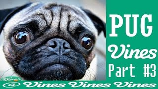 *new* Funny Pug Vines Compilation Ever Made !!! May 2015