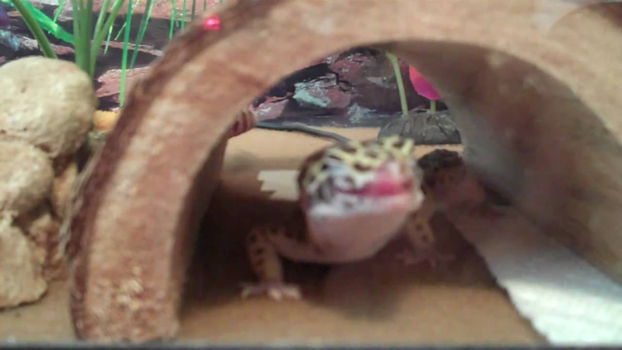 Moonshine the leopard gecko yawning licking her lips and - Bearded dragon yawn ...