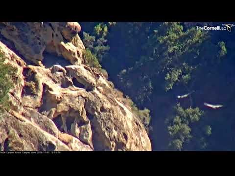 California Condors Take Off In Unison – Oct. 7, 2019