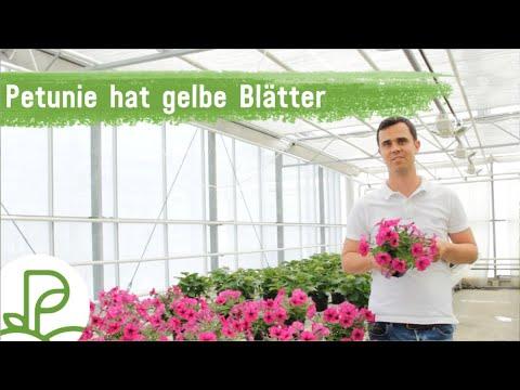 chlorose bei petunien gelbe bl tter durch eisenmangel video youtube
