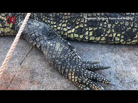 After an Almost Decade-long Search, Park Rangers In Australia Capture a Massive Crocodile