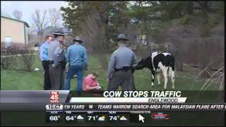 Cow on the Loose in Clayton