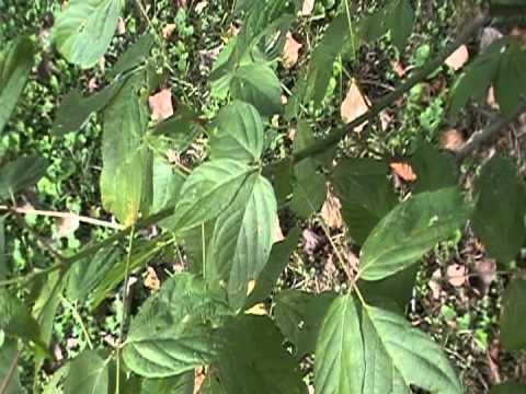 Box Elder ( Acer Negundo) identification video