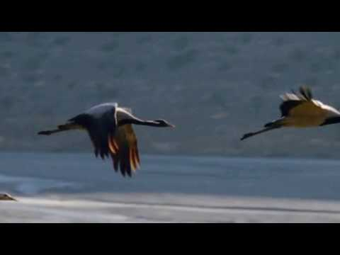 Migration of the Demoiselle Cranes - Remastered
