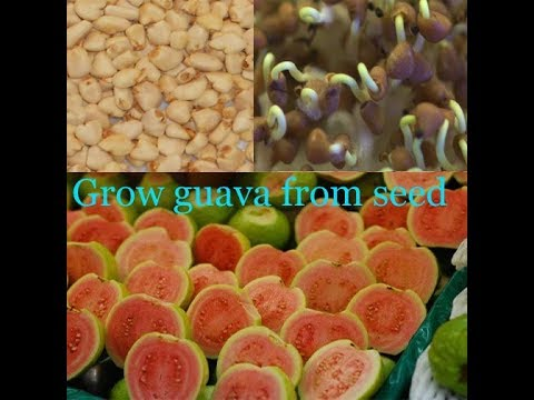 How To Grow Guava Plants From Seeds Trees