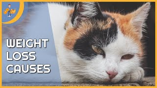 Why is My Cat Losing Weight - the Top 9 Causes
