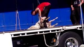 Strihani jehnete na soutezi v Australii 2013