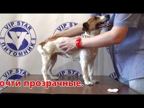 как выяснить что собака готова к вязке