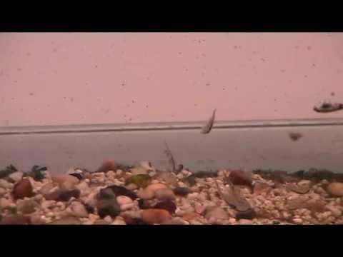 The Behaviour of brine shrimp