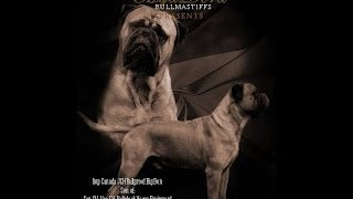 Bullmastiff Bullproof Big Ben (mijadora)