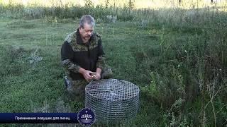 Применение ловушек для лисиц