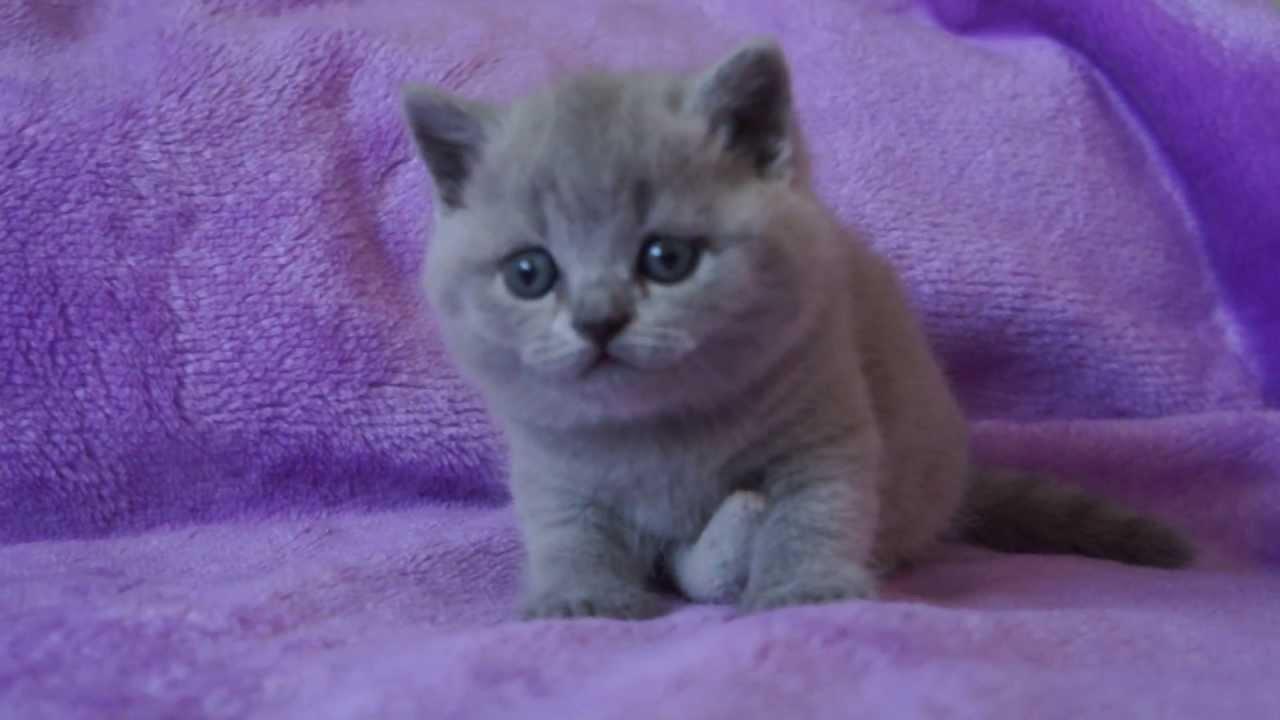 Tarra 4 5 Tygodnia Koty Brytyjskie British Shorthair Cattery