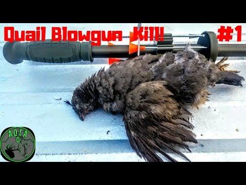 Quail KILL With BLOWGUN #1